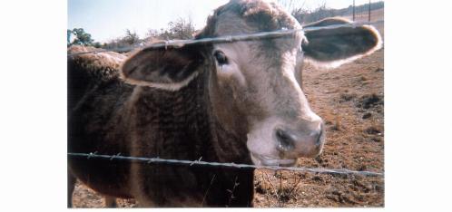 Mason County Coco the Cow