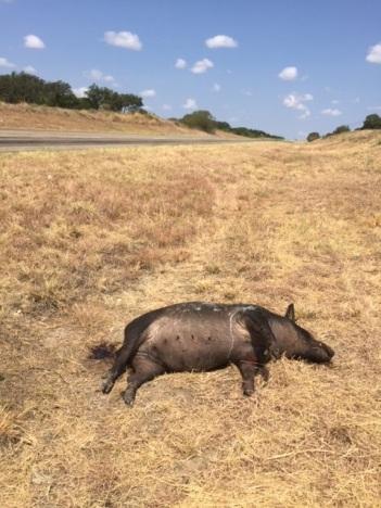 Road kill feral hog