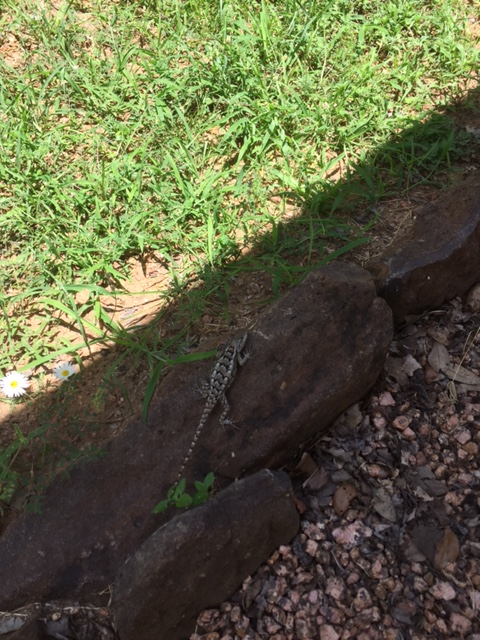 Lizard in the Shade