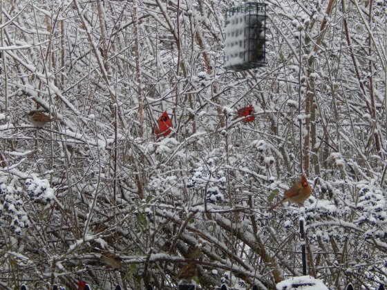 cardinals-in-snow