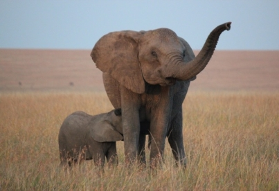 Mama elephant & baby 2013